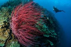 Havet piskar Ellisella grandis i Gorontalo, undervattens- Indonesien Arkivfoto