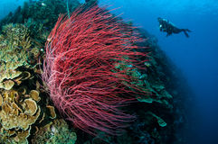 Havet piskar Ellisella grandis i Gorontalo, undervattens- Indonesien Arkivfoton