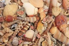 Havet shells bakgrund Royaltyfri Foto