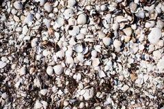 havet shells litet Arkivbild