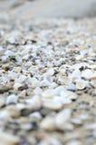 havet shells white Royaltyfri Fotografi