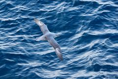 Havfågel Fågel med det blåa havet Nordlig stormfågel, Fulmarusglacialis, vit fågel, blått vatten, mörker - blå is i bakgrunden, Royaltyfria Bilder