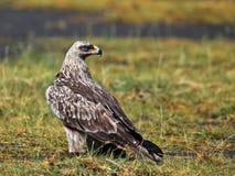 Havik-adelaar zitting op het land Stock Foto's