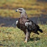 Havik-adelaar zitting op het land Royalty-vrije Stock Afbeeldingen