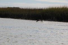 Havik die het water met zijn klauwen in Charleston South Carolina, moerasachtergrond afromen Royalty-vrije Stock Foto's