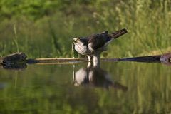 Havik, Northern Goshawk, Accipiter gentilis stock photo