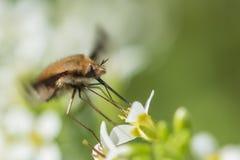 Haviksmot, insect stock afbeeldingen