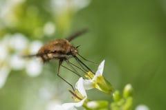 Haviksmot, insect royalty-vrije stock foto