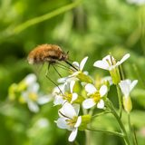 Haviksmot, insect royalty-vrije stock afbeelding