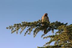 Haviksschreeuwen op treetop Stock Afbeelding
