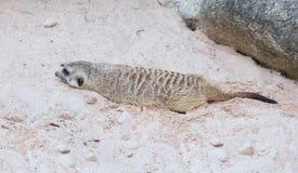 Havinf marrone chiaro sveglio di Meercat il resto nel sole del deserto mentre Fotografia Stock Libera da Diritti