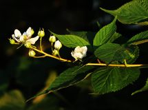 A having in bloom of blackberry in summertime. Rubus. royalty free stock photo