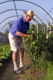 Having care of the green pepper. Farmer looking at the green pepper Royalty Free Stock Image
