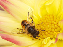 The having dinner fly Royalty Free Stock Photography