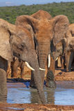Having a drink. Two elephants enjoying a drink on a hot summers day Royalty Free Stock Photos