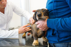 Having fear for the veterinarian Stock Image