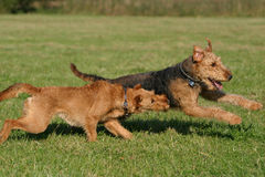Having fun. Two terrier dogs playing around and having fun stock photography