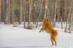 Having fun with Finnish Spitz Royalty Free Stock Photo