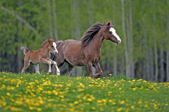 Having Fun: Welsh Pony Mare and Foal Royalty Free Stock Photos