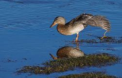 Having A Good Long Duck Stretch royalty free stock photography