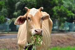 Having Lunch !. A brown cow having some grass as its lunch at a village Stock Photo