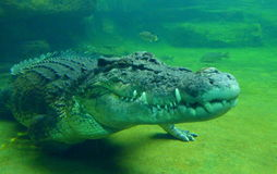 Crocodile resting on riverbed Stock Images