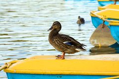 Having a rest ducks Stock Images