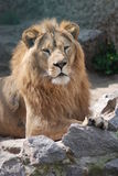 Having a rest lion. Among rocks Stock Images