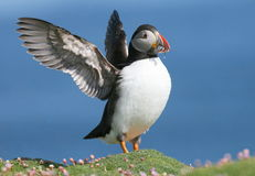 Puffin with outspread wings and sand eels Royalty Free Stock Photo