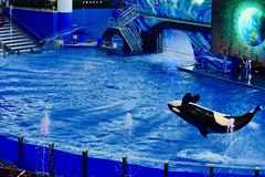 Having a whale of a time in the pool. An Orca better known as the killer whale showing off its skills entertaining a crowd at a theme park in Florida royalty free stock photography