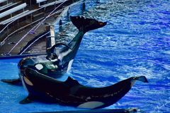 Having a whale of a time in the pool. A pair of Orca better known as the killer whale providing entertainment for the theme park crowd royalty free stock photo