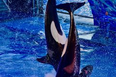 Having a whale of a time in the pool. A pair of Orca better known as the killer whale providing entertainment for the theme park crowd stock photo