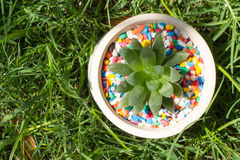 Havorthia onder gras Stock Foto