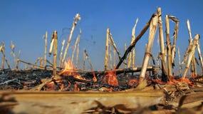Havre förföljer att bränna i ett fält fotografering för bildbyråer