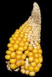 Havre majskolv, guling som är konstig, Zea maj, underligt form Royaltyfria Foton