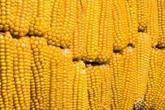 Havre majskolv, multipel, guling som är mogen, korn, mat Fotografering för Bildbyråer