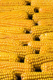 Havre majskolv, multipel, guling som är mogen, korn, mat Arkivbild