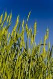 Havre och blå himmel Arkivfoton