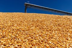 Havre och korn som behandlar eller skördar terminalen Havre kan användas för mat-, matnings- eller Ethanoldropp Royaltyfri Foto