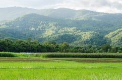 Havre och risfält Royaltyfri Bild