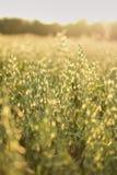 havre på skydd för miljö för tema för solsken för fält för solnedgångtexturgräsplan royaltyfri foto