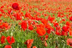 Havre Poppy Field Fotografering för Bildbyråer