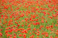 Havre Poppy Field Royaltyfria Bilder