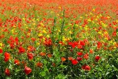 Havre Poppy Field Arkivfoto