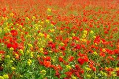 Havre Poppy Field Royaltyfria Foton
