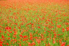 Havre Poppy Field Arkivfoton