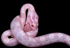 havre som äter ormen Royaltyfria Bilder