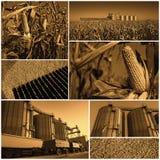 Havre som växer och skördar - collage Arkivbild