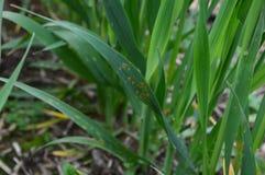 Havreblad som smittas med bladrost royaltyfria bilder
