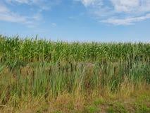 Havrefält i den Wilde Veenen polder i Waddinxveen Nederländerna royaltyfria bilder